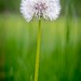 Dandelion in the Grass #1
