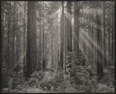 Palladium Print - Redwood Lightrays photo by Zach Boumeester