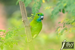 Green Parrot (Guaiabero) photo by cebuphotographer
