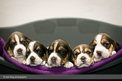 Beagle puppies photo by raulkling