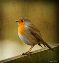 Hello Mr Robin photo by philip1120