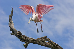 Spoonbill flight photo by Jamie Felton Photo