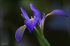 Wild Iris Flower [Explored] photo by SunyFLx4