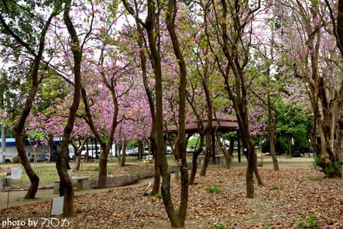 01_台南公園羊蹄甲