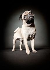 Tiny Pug - Massive personality photo by shot2stun