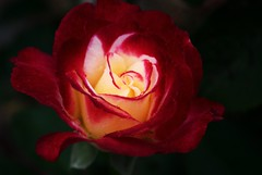 Double Delight Rose photo by j man.