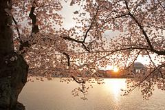 Cherry blossom sunrise photo by ianseanlivingston