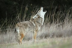 The Song Dog (Canis latrans) photo by Jared Hughey