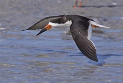 Black Skimmer in Flight photo by arlenekoziol