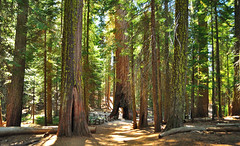 Lower Mariposa Grove photo by SandyK29