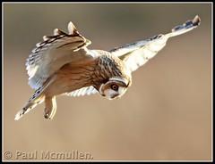 beautiful short eared owl..... photo by Paul_ McMullen