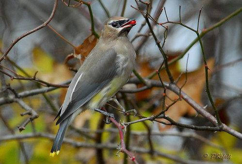 Cedar Waxwing photo by pkefali (Off to Cyprus - Back in 3 Weeks!)
