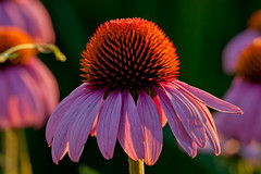 Coneflower at Sunset photo by cotarr