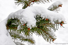 pine's detail in winter [121_365 One Day one Photo] photo by andriyR4