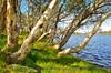 Eucalyptus Trees at Three Mile Dam