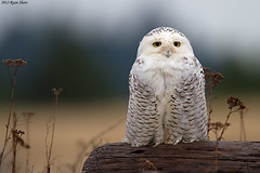 Snowy Owl (Bubo scandiacus) photo by *Ryan Shaw