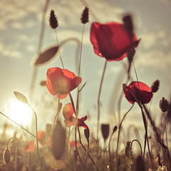 Poppies romance photo by Lomoody