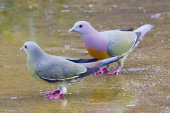 Pink-necked Green-pigeon Couple BP_29012012_002 photo by Chong Lip Mun