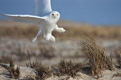 Snowy Owl photo by Bill'sLIPhotos