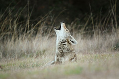 Howling Coyote photo by Jared Hughey