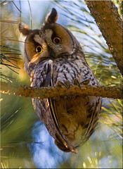 Long-eared owl [Explored] photo by Patrick Berden