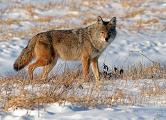 Alpha Male Coyote (Explored) photo by Windows to Nature