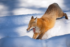 Red Fox Yawning and Stretching in Mount Rainier National Park photo by Lee Rentz