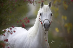 Arabian Horses photo by HANI AL MAWASH