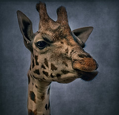 Textured Giraffe photo by Steve Wilson - over 6 million views Thanks !!