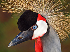 Portrait of a Black Crowned Crane photo by Andy von der Wurm
