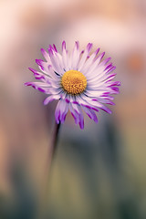 Daisy photo by mikroman6