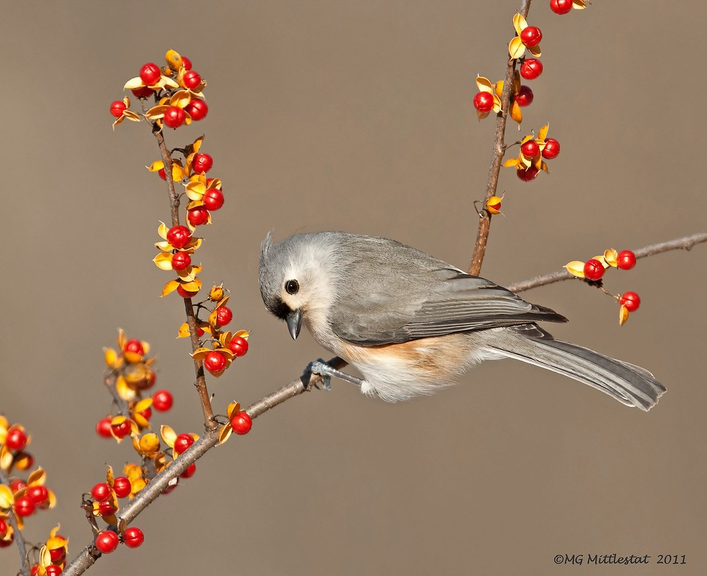 Tufted titmouse photo by gerstat
