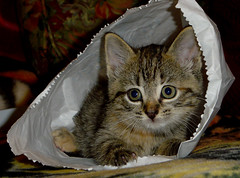 Kitten in the bag!! photo by riverdance220