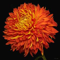 Indian Summer Chrysanthemum photo by ChristopherLeeHewitt (Away)