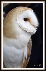 Barn Owl. photo by marj.p.