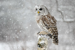 barred owl photo by Steve Courson