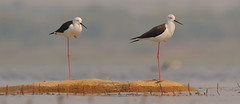 Black Winged Stilts photo by New NewEnglander