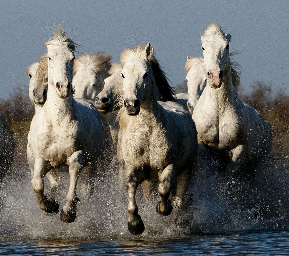 Group of Camargue Horses Galloping through Water (2) photo by John Hallam Images