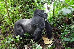 Mountain Gorilla photo by Manuel ROMARÍS