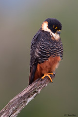 Bat Falcon photo by *Ryan Shaw