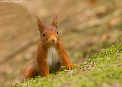 Red Squirrel - I can see you! - Explored! photo by Ashley Cohen Photography