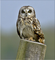 Short Eared Owl photo by www.paul-green.org