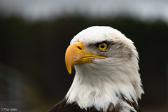 Bald Eagle Portrait photo by Ryan Gardiner