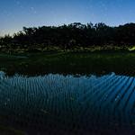 Rice field of Fireflies