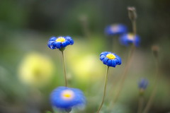 blue flower photo by myu-myu
