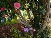 C. japonica 'Chandler's Elegans' (3)