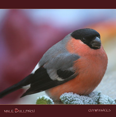 Male Bullfinch....1,  one of our prettiest birds. photo by Guy@Fawkes
