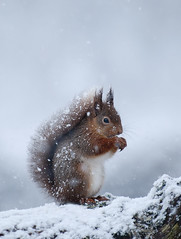 Red Squirrel covered in snow (Explored) photo by Margaret J Walker