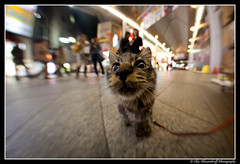Cute Japanese pussy cat close up with Fish-eye on a leash! ;)) photo by Ilko Allexandroff / イルコ・光の魔術師