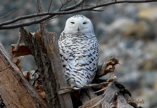 Snowy Owl - Merrill Creek Reservoir photo by pkefali